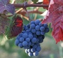 Grape Varieties Along the Central Coast valley_grapes_325_300.jpg